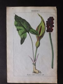 Yonge 1863 Hand Col Botanical Print. Lords & Ladies, or Cuckoo Pint. Poisonous